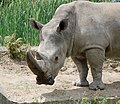 White rhinoceros head - Sofia zoo - 2.jpg