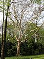 Wien-Penzing - Naturdenkmal 27 - Dehnepark - Ahornblättrige Platane (Platanus × hybrida) II.jpg