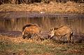 Wild Boars (Sus scrofa cristatus) (20576830851).jpg