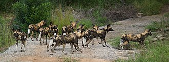 Pack (canine) - A hunting pack of African wild dogs