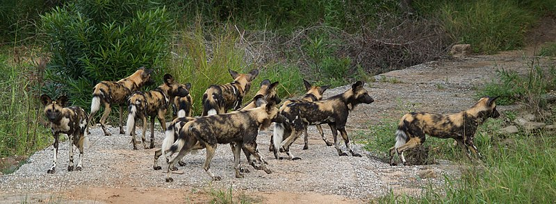 Wild Dog Kruger National Park South Africa