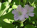 Wild Geranium, Spotted Geranium (Geranium maculatum) - Flickr - Jay Sturner (1).jpg