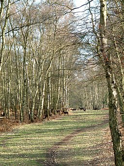 Wild deer, Berkhamsted Common - geograph.org.uk - 136358