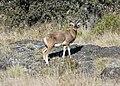 Wild goat (37969600012).jpg