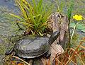 Wildpark Bad Mergentheim. Europäische Sumpfschildkröte.jpg