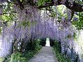 Wisteria Arch at Hampton Court Gardens. - Flickr - gailhampshire.jpg