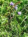 Witasek-Glockenblume (Campanula witasekiana).jpg