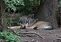 Wolf Tierpark Hellabrunn-8.jpg