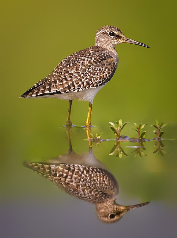 Wood Sandpiper Safari Park.jpg