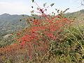 Woodfordia fruiticosa 12.JPG