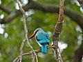 Woodland Kingfisher (Halcyon senegalensis) (11711035593).jpg