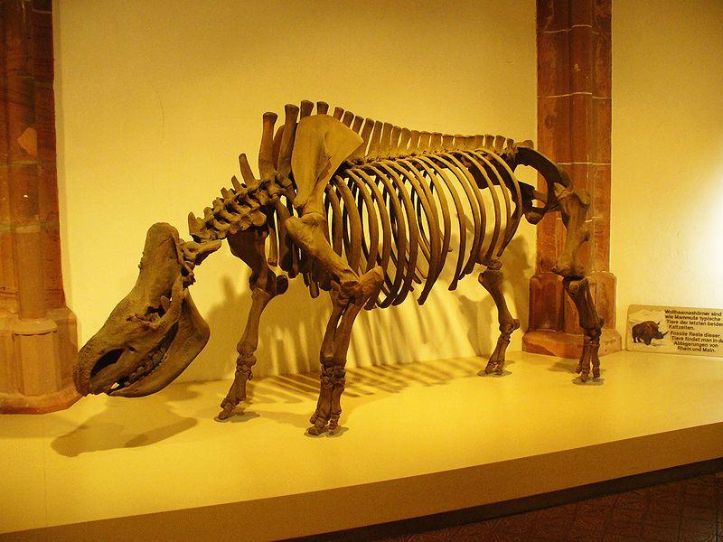 http://upload.wikimedia.org/wikipedia/commons/thumb/8/87/Woolly_Rhino_Skeleton.jpg/800px-Woolly_Rhino_Skeleton.jpg