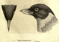 Xenopirostris xenopirostris.png