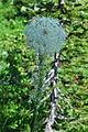 Xerophyllum tenax -Paradise, Mount Rainier, August 2014 - 02.jpg