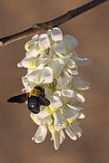 Xylocopa aestuans (carpenter bee) on flowers.jpg