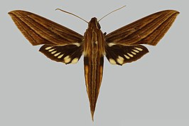 Xylophanes kiefferi JH140 male up edi.jpg