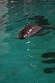Yangtze finless porpoise, 27 July 2011c.jpg