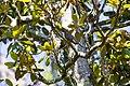 Yellow-billed cuckoo (33972726043).jpg