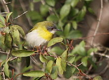 Yellow-breasted Apalis (Apalis flavida).jpg