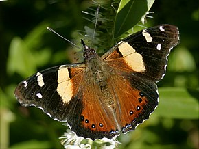 Description de l'image Yellow Admiral 05.JPG.