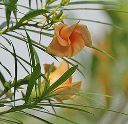 Yellow Oleander (Thevetia peruviana) leaves & flowers in Kolkata W IMG 8008.jpg