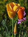 Yellow Poppy (33571527075).jpg
