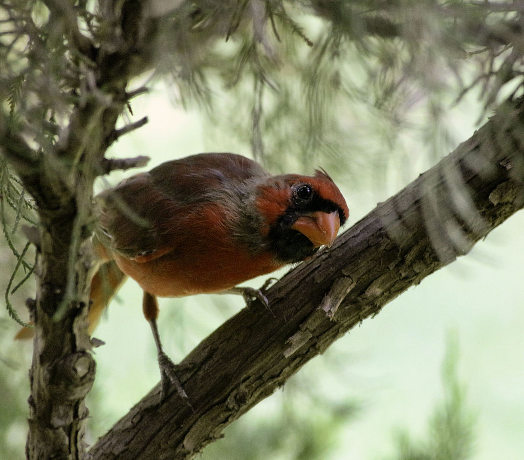 Young cardinal molting