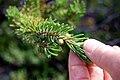 Young cones on Pinus banksiana, Corea Heath, Maine (16161832627).jpg