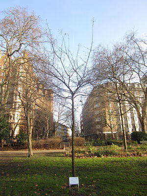 Russell Square - This oak tree marks the site in Russell Square where so many floral tributes were laid in remembrance of those who suffered in the London bombings of July 7th 2005.