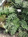 Zamia loddigesii - United States Botanic Garden - DSC09569.JPG