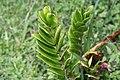 Zamioculcas zamiifolia 10zz.jpg