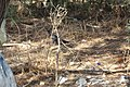 Zanate mexicano (Quiscalus mexicanus) en zona urbana.jpg