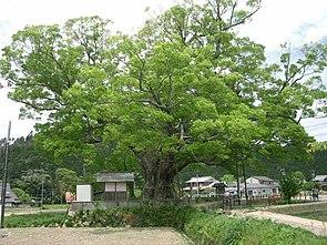Japanische Zelkove (Zelkova serrata)