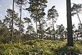 Zicht op overgroeide grafheuvelgroep, nabij de Bosstraat bij de Duitse grens - Swalmen - 20427849 - RCE.jpg