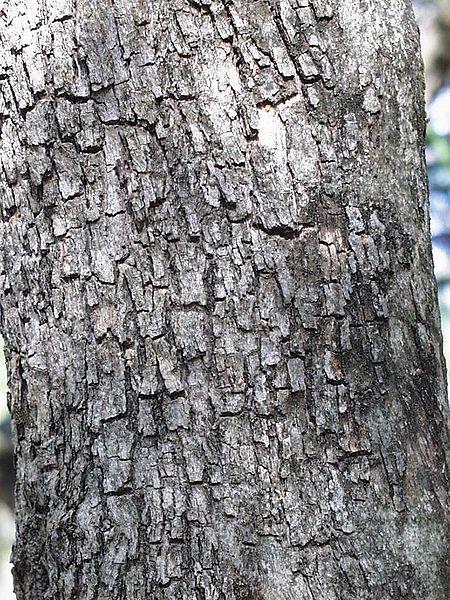 tronc du ziziphus mucronata