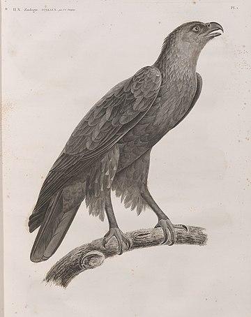 Zoologie. Oiseau. Aigle criard (Aquila nævia), adulte (NYPL b14212718-1268473).jpg