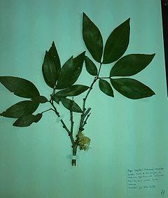 240px zygialongifolia fabaceae