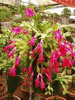 ZygocactusTruncatus.jpg