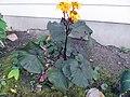 'Britt-Marie Crawford' Ligularia (8226439052).jpg