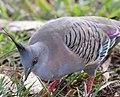 (1)Crested Pigeon 005aa.jpg