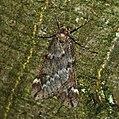 (1663) March Moth (Alsophila aescularia) (4332481016).jpg