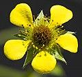 (MHNT) Geum urbanum - flower.jpg