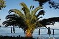 Χαλκιδική, Σιθωνία, Ελιά - Anthemus sea - panoramio (25).jpg