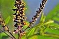 Аморфа кущова 1 (Amorpha fruticosa).jpg