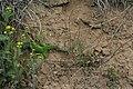 Гранітно-Степове Побужжя. Ящірка зелена (Lacerta viridis).JPG