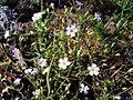 Квіти біля с. Арбузинка.jpg