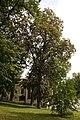 Клен сріблястий, м. Кам'янець-Подільський P1280503.jpg