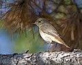 Обыкновенная горихвостка (Садовая горихвостка, Горихвостка-лысушка)- Phoenicurus phoenicurus - Common Redstart - Градинска червеноопашка (37361916136).jpg