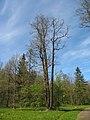 Ораниенбаум, Верхний парк, Английская аллея02.jpg
