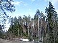 Сосны - panoramio (40).jpg